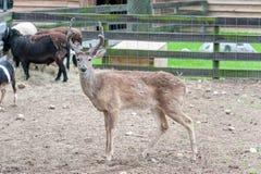Hind Female Animal Får i bakgrund Fotografering för Bildbyråer