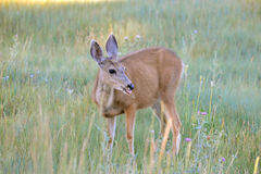 Hind in a field. Hind, deer in a field, light of a sunny morning Stock Images