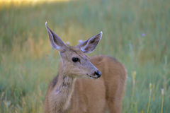 Hind in a field. Hind, deer in a field, light of a sunny morning Stock Photography