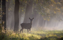 Hind in forest stock photography