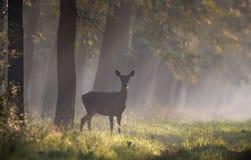 Hind i skog Arkivbild