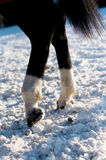 Hind legs and hoofs of black horse with white socks. Standing on white snow Stock Images