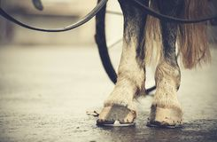 Hind legs of the horse harnessed in the carriage. Stock Images