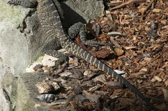Hind legs and tail of a monitor lizard sun baking by garden royalty free stock photos