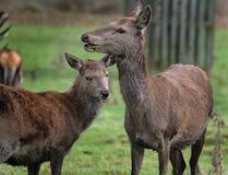 Hind och barn för röda hjortar Royaltyfria Bilder