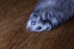 Hind puppy keeshond / Wolfspitz. Three weeks of age. Gray little paw with black toes and small claws stock image