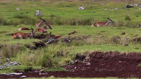Hind red deer, Cervus elaphus, lying down, resting on moorland during august in the cairngorms national park, scotland.