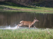 Hind in shallow water Royalty Free Stock Photography