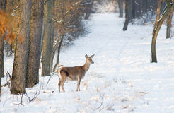 Hind on snow Royalty Free Stock Photo