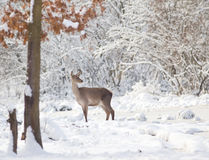 Hind on snow Stock Images