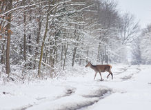 Hind on snow Royalty Free Stock Image
