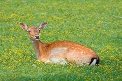 Hind in on a spot of grass in the forest Royalty Free Stock Photography