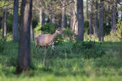 Hind walking in forest Stock Photography