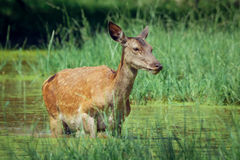 Hind walking in shallow water on sunny day in spring Royalty Free Stock Photography