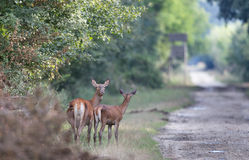 Hind with young deer Royalty Free Stock Images