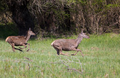 Hind and young deer on meadow Royalty Free Stock Image