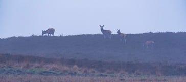 Hindar för röda hjortar i bergig ljung i morgonmist Arkivbild