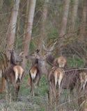 Hindar i skog Royaltyfria Bilder