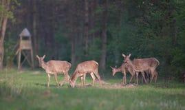 Hindar som går i skog Royaltyfria Foton