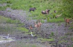 Hindar, vildsvin och vithäger bredvid dammet Arkivfoto