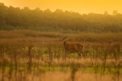Hinde on the Veluwe Stock Photo