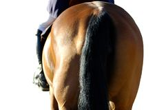 Hindquarters. Bay horse's tail, hindquarters, on a white background Stock Photography