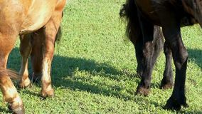 The hindquarters with two waving tails on a lawn. A funny view of the hindquarters with two waving tails on a lawn. One horse is light brown, the second one is stock footage