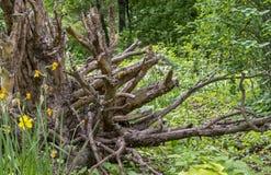 Hindret i landskapdesign av parkerar gammalt rotar treen Hinder på bakgrunden av naturen royaltyfri foto