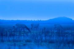 Hinds в Veluwe Стоковое Изображение RF