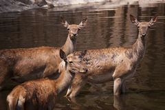 3 hinds Immagine Stock