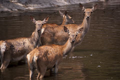 4 hinds Photo stock