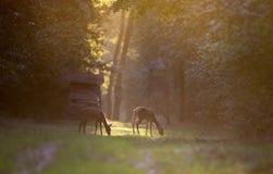 Hinds dans la forêt Photo libre de droits
