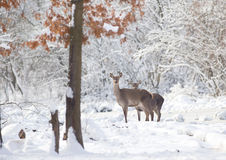 Hinds dans la neige Photographie stock