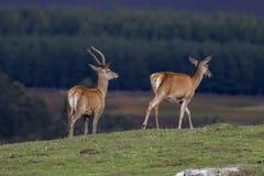 Hinds de los ciervos comunes, scoticus del elaphus del Cervus, pastando en hierba con el bosque del pino en fondo durante septiem imagen de archivo