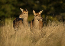 Hinds dei cervi nobili (cervus elaphus) Fotografia Stock