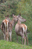 Hinds dei cervi rossi Fotografia Stock
