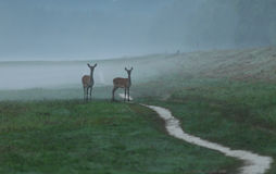 Hinds en niebla Imagenes de archivo