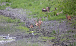 Hinds et hérons blancs près d'étang Image stock