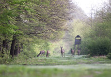 Hinds in forest Stock Images