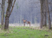 Hinds in forest Royalty Free Stock Images