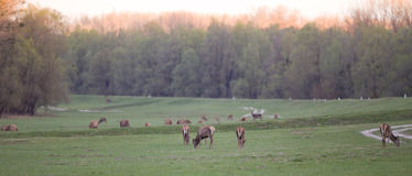 Hinds herd Royalty Free Stock Image