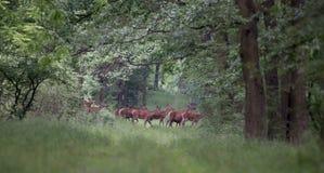 Hinds marchant dans la forêt Photo libre de droits