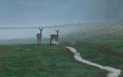 Hinds in nebbia Immagini Stock