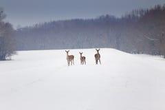 Hinds op sneeuw Royalty-vrije Stock Fotografie