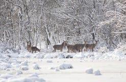 Hinds op sneeuw Royalty-vrije Stock Foto