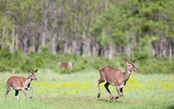 Hinds running on meadow Stock Images