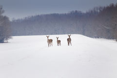 Hinds on snow Royalty Free Stock Photography