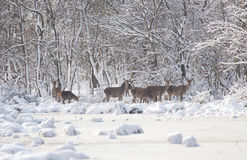 Hinds sur la neige Photo libre de droits