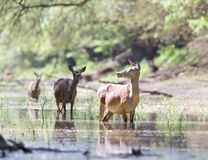 Hinds in water Royalty Free Stock Photo