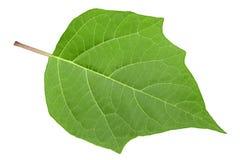 Hindu datura leaf on white Stock Image